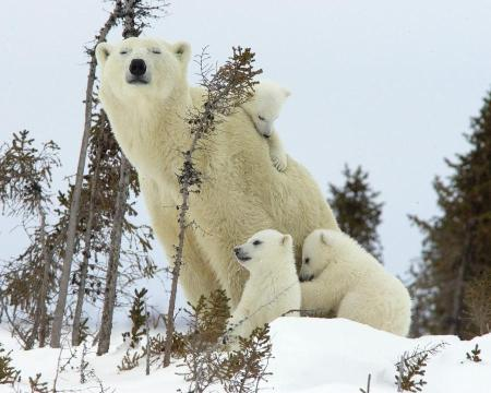 polar-family-wapusk-national-park