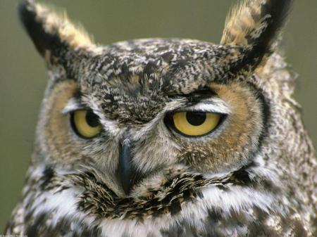 howl-owl