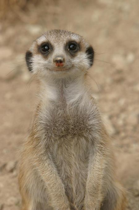 smile-of-a-meerkat